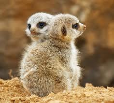 Meerkats pictures