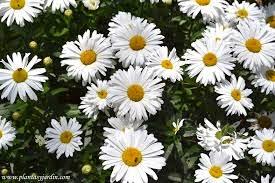 Florzinha de Jesus
