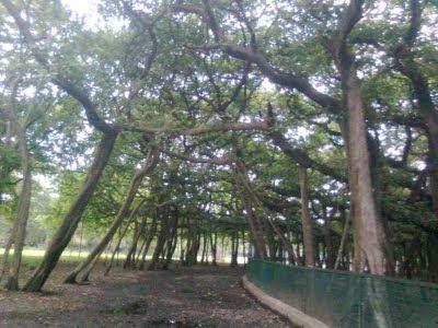 أعظم أشجار متداخلة في العالم-منتهى