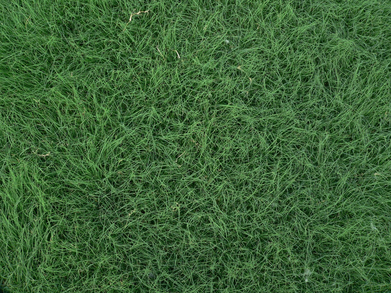 Garden of aaron buffalo grass won 39 t you come out tonight for Garden grass