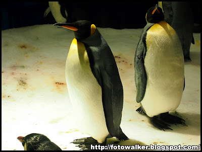 企鵝@海洋公園
