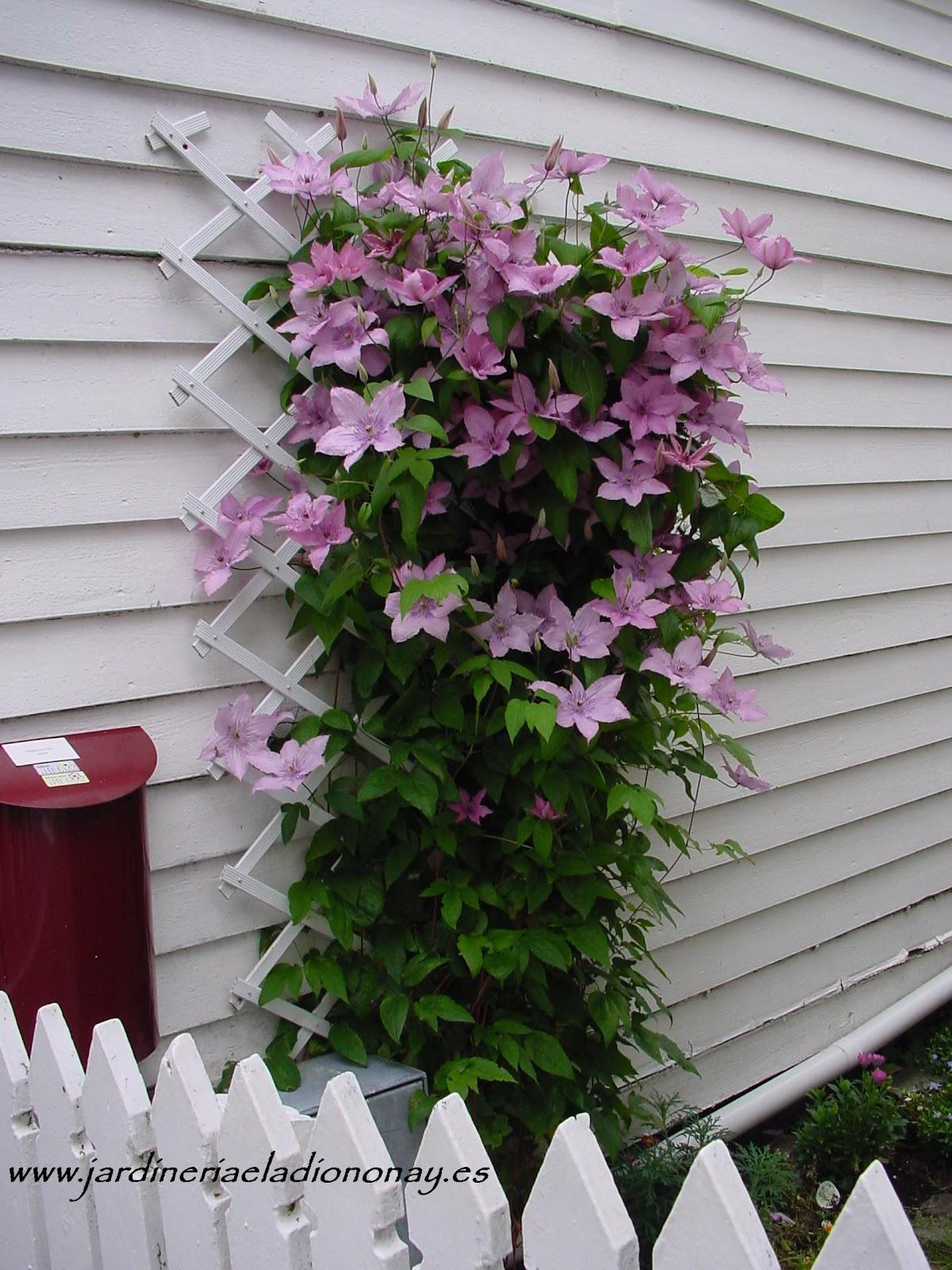 Jardineria eladio nonay trepadora muy decorativa for Jardineria decorativa