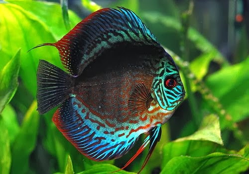 How to keep discus fish tropical fish for Best place to buy discus fish