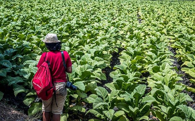 Ladang tembakau Padamara Lombok