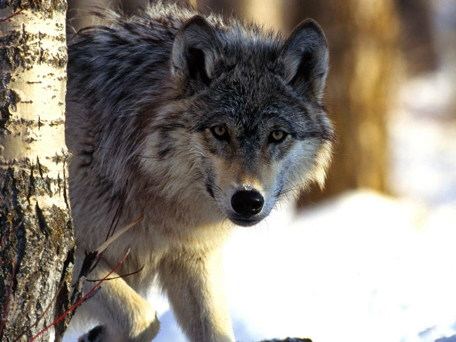 http://www.kxly.com/news/spokane-news/cattlemens-association-fish-and-wildlife-should-do-more-to-protect-people-from-wolves/30047588