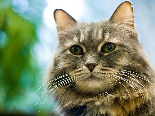 Suitable Cat Food Diabetic Cats Uk