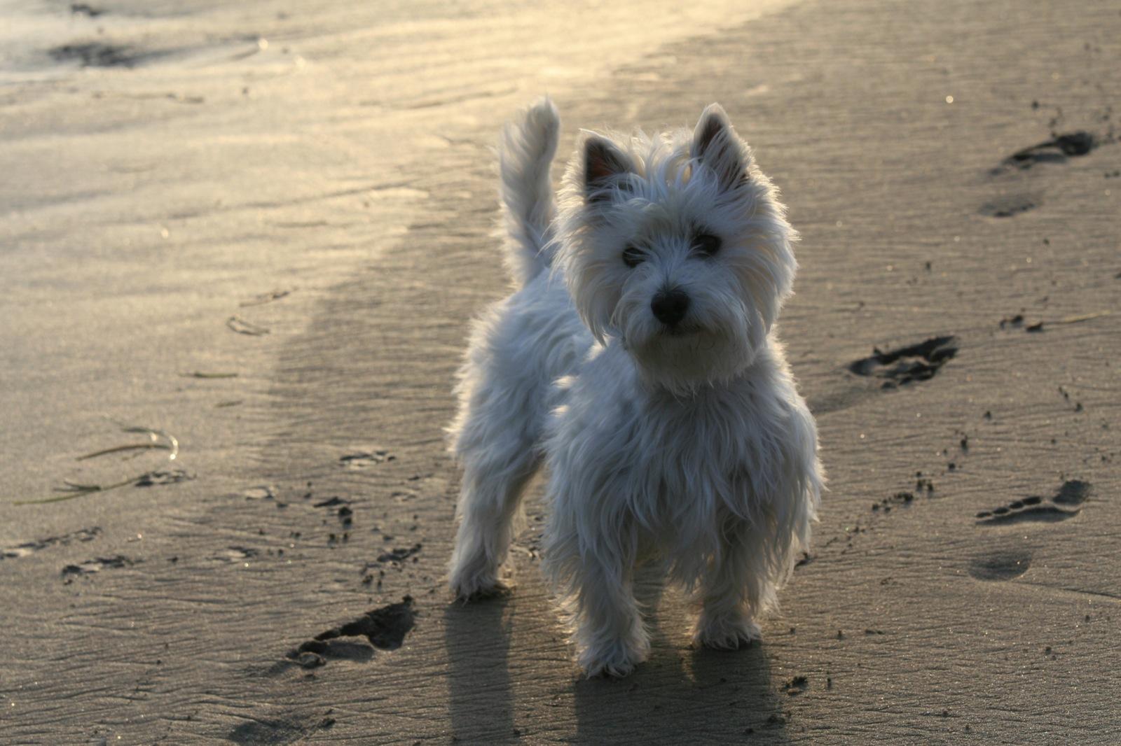 lil 39 dog whisperer fun and feisty the west highland terrier. Black Bedroom Furniture Sets. Home Design Ideas