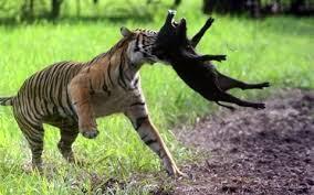 Seputaran Jambi Harimau Sumatera Panthera Tigris Sumatrae