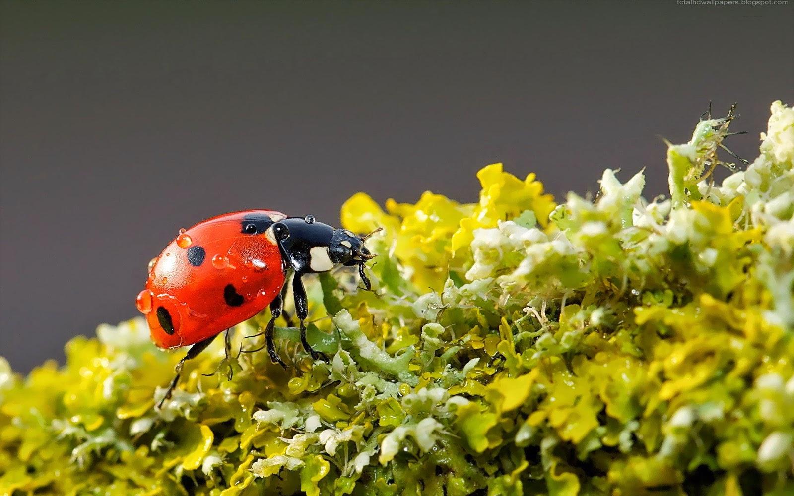 Beautiful Ladybugs Macro wallpapers