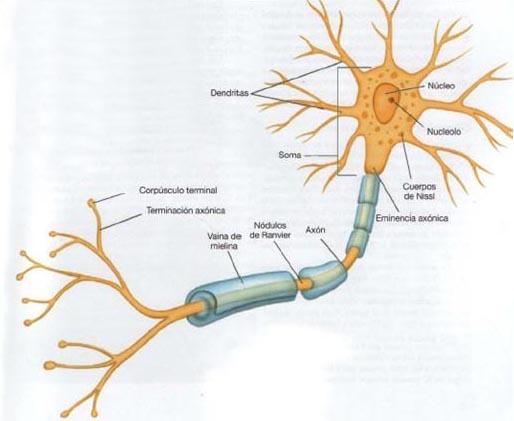 Biologa Humana SISTEMA NERVIOSO neuroglia neurona nervios y