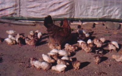 Escuela granja avicultura
