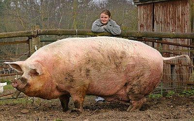 Cerdo o jabalí salvaje gigante.