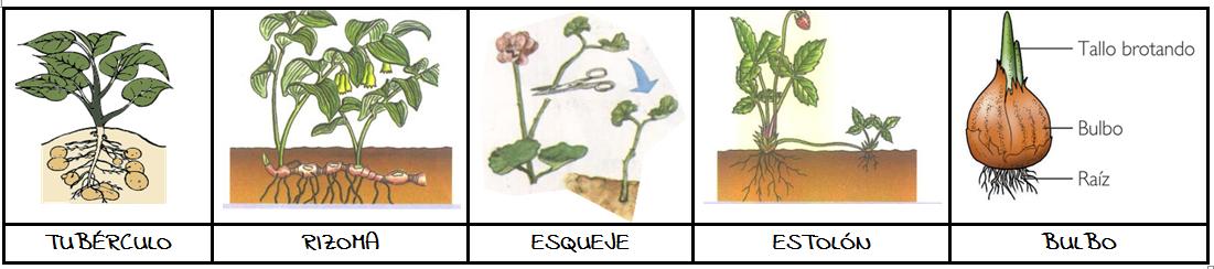 Vegetalandia f de reproducci n for Planta ornamental que se reproduzca por esquejes