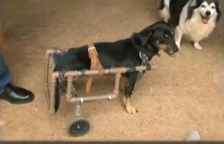 Barreiras: Cão ganha 'cadeira de rodas' após perder movimento de duas patas