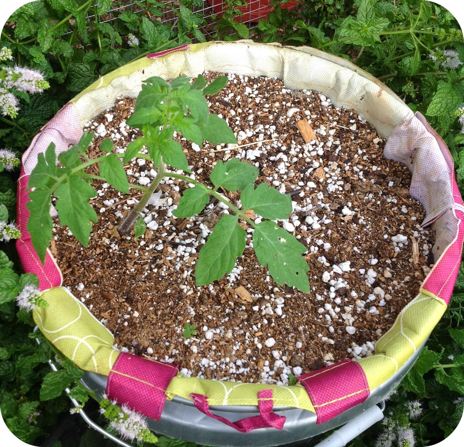 http://backyardchickenlady.blogspot.com/2014/09/discovery-of-volunteer-tomato-plant-in.html