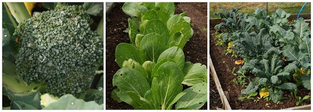 calabrese, pak choi and kale - growourown.blogspot.com - an allotment blog