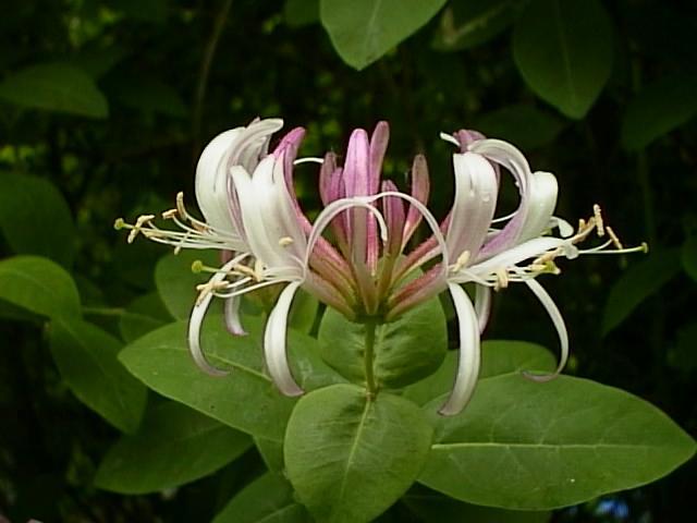 Flower Picture: Honeysuckle Flower Picture