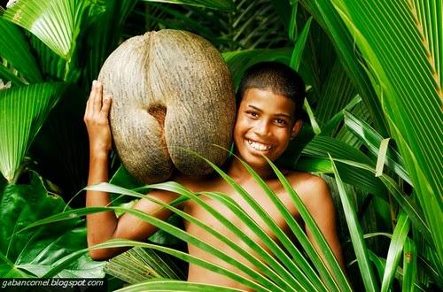 Pelik Coco De Mer Buah Kelapa Terbesar di Dunia