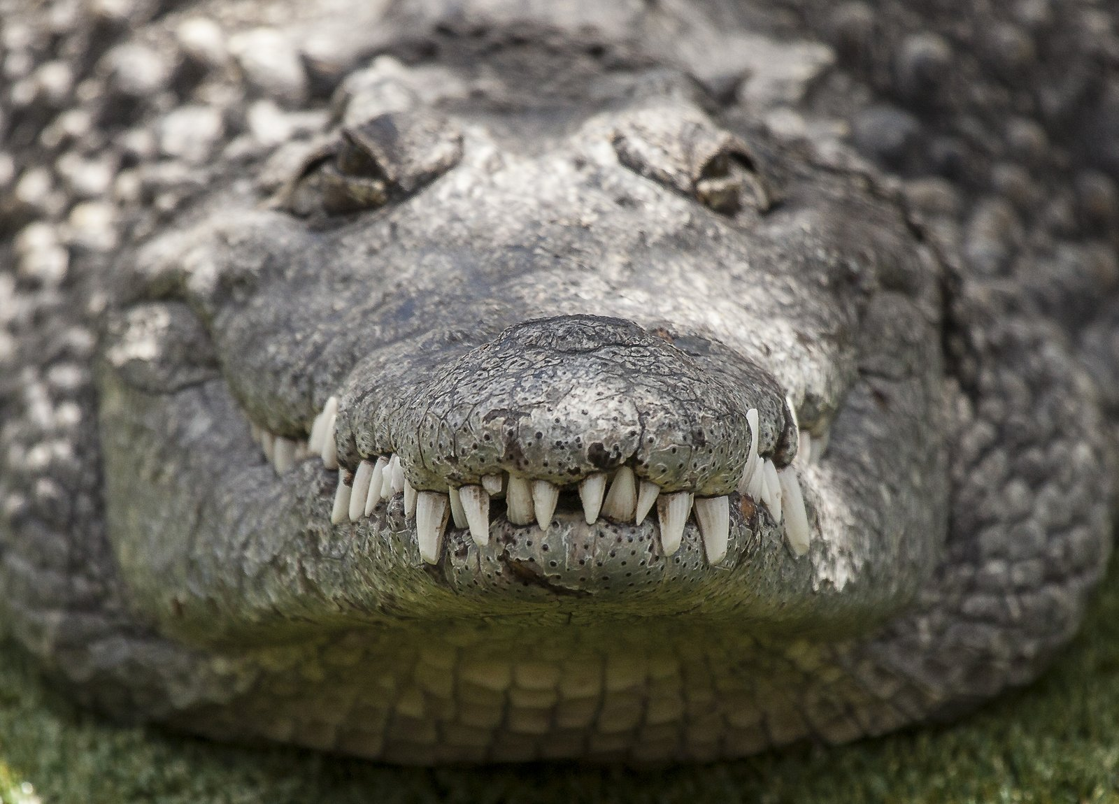 Ronnewby Alligators Reptile Gardens Rapid City South Dakota May 2012