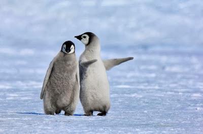 شاهد لقطات فريدة لبطريق صغير يعلِّم صديقه المشي