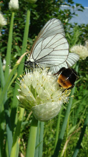шмель и бабочка