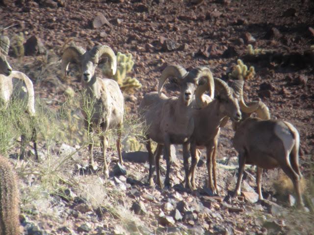 AZ+Desert+Bighorn+Sheep+Scouting+Pics+by+Colburn+and+Scott+Outfitters+5.JPG