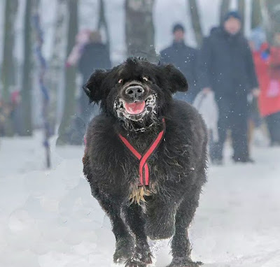 Ugly angry dog running
