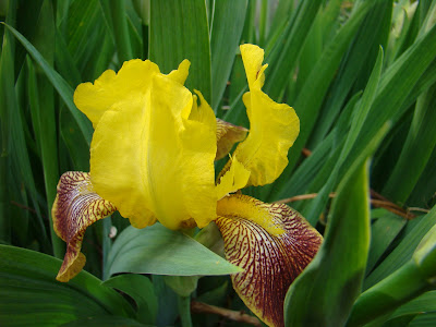 gastronomic gardener This is a picture of an iris in a midwest garden