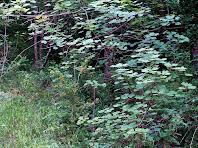 Blades enmig de rojalets