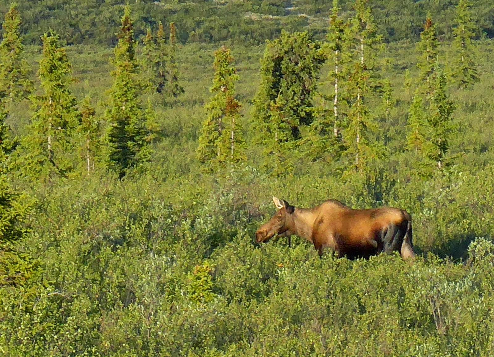 Moose at Breatfast