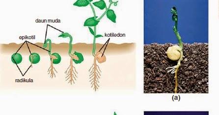 Perbedaan Perkecambahan Tumbuhan Dikotil Dan Monokotil