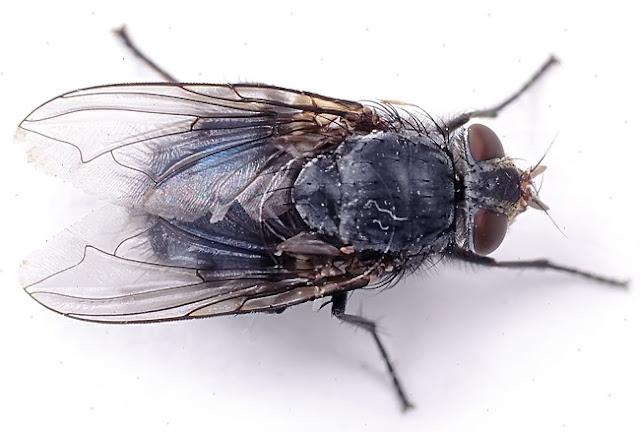 Lalat Penyakit Dan Penawar Menurut Islam