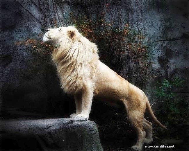 Amazing Albino Lions