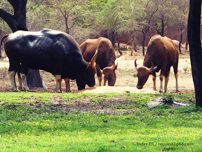 Indian Bison or Gaur are largest of wild cattle