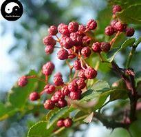 花椒 (Hua Jiao) の赤い実