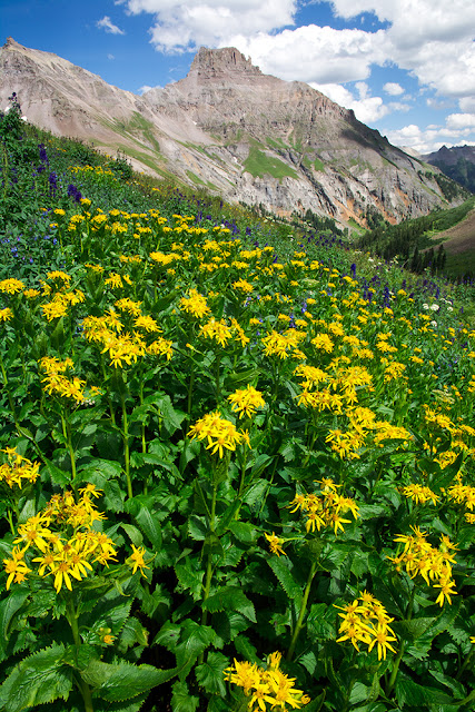 Yellow wildflowers with Potosi Peak in Yankee Boy Basin, Colorado