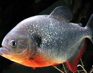 bawal fish like piranha