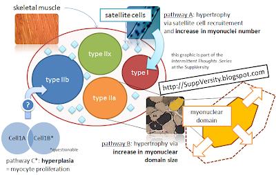 La croissance des fibres musculaires par hypertrophie et hyperplasie