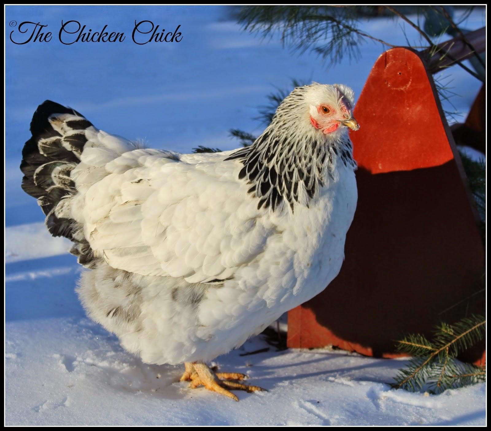 Columbian Wyandotte hen (Lola)