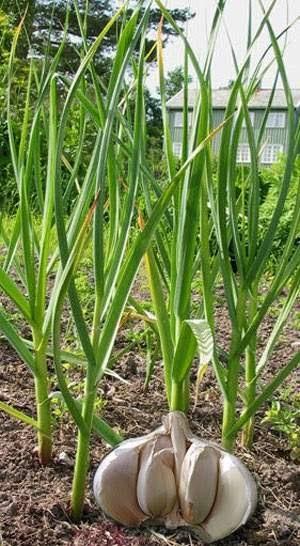 Tanaman Herbal Bawang Putih Allium Sativum Linn
