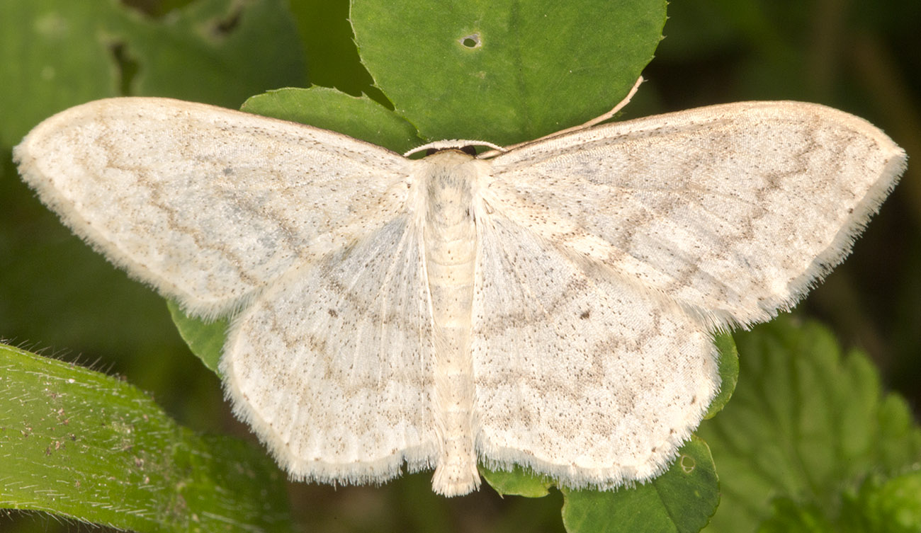 Cream Wave, Scopula floslactata.  Monad 4061, 19 May 2014.