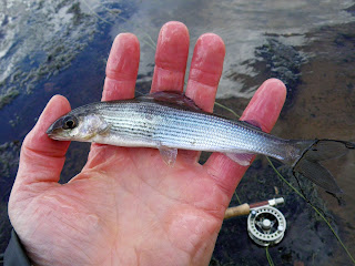 It might be small but it's my first stillwater grayling!