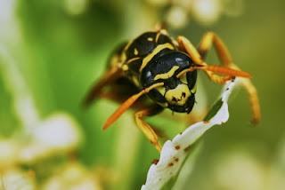 Wespen sind Nützlinge und bestäuben Pflanzen
