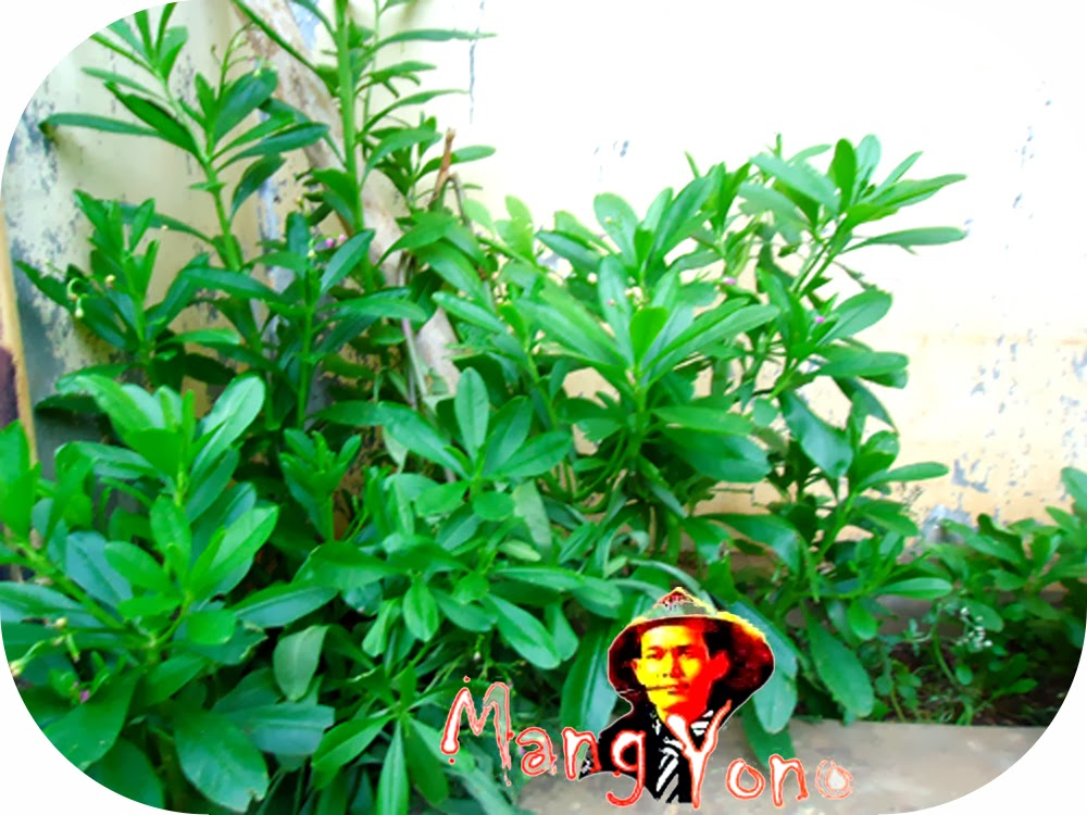 Khasiat dan manfaat dari Ginseng Jawa
