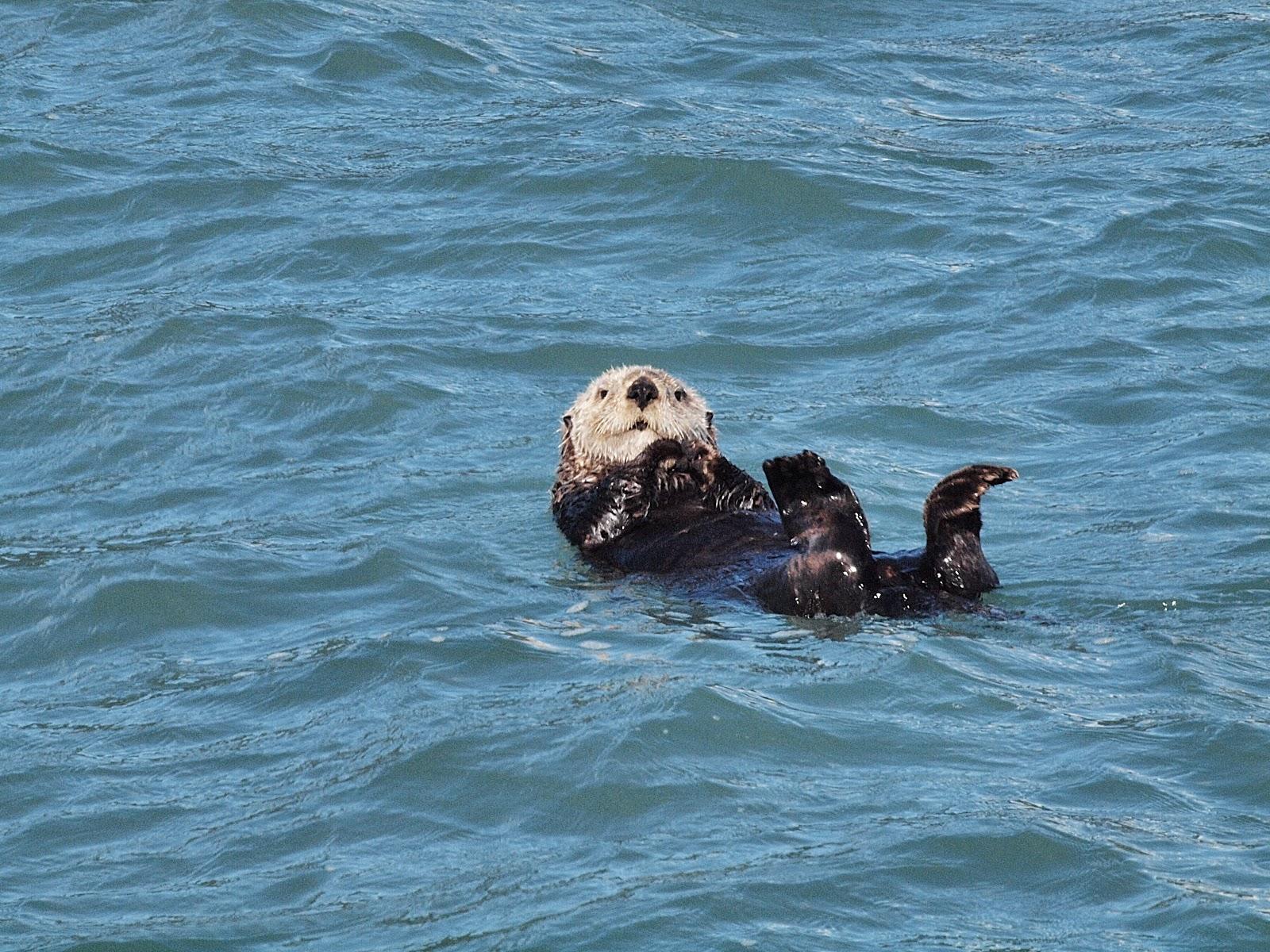 Otter,, #alaska #resurrectionbay #kenai 2013 #otter family