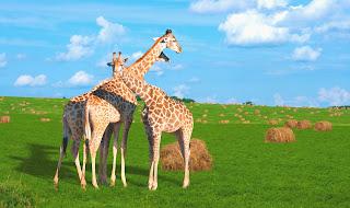 Tres jirafas disfrutan el día en las praderas con mucha comida a su alrededor