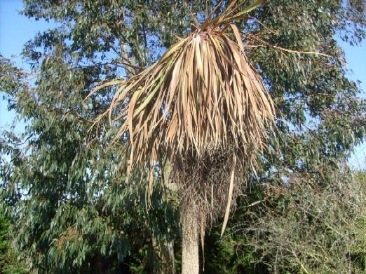 Ma plan te jardin cordyline en p ril - Cordyline feuilles qui jaunissent ...
