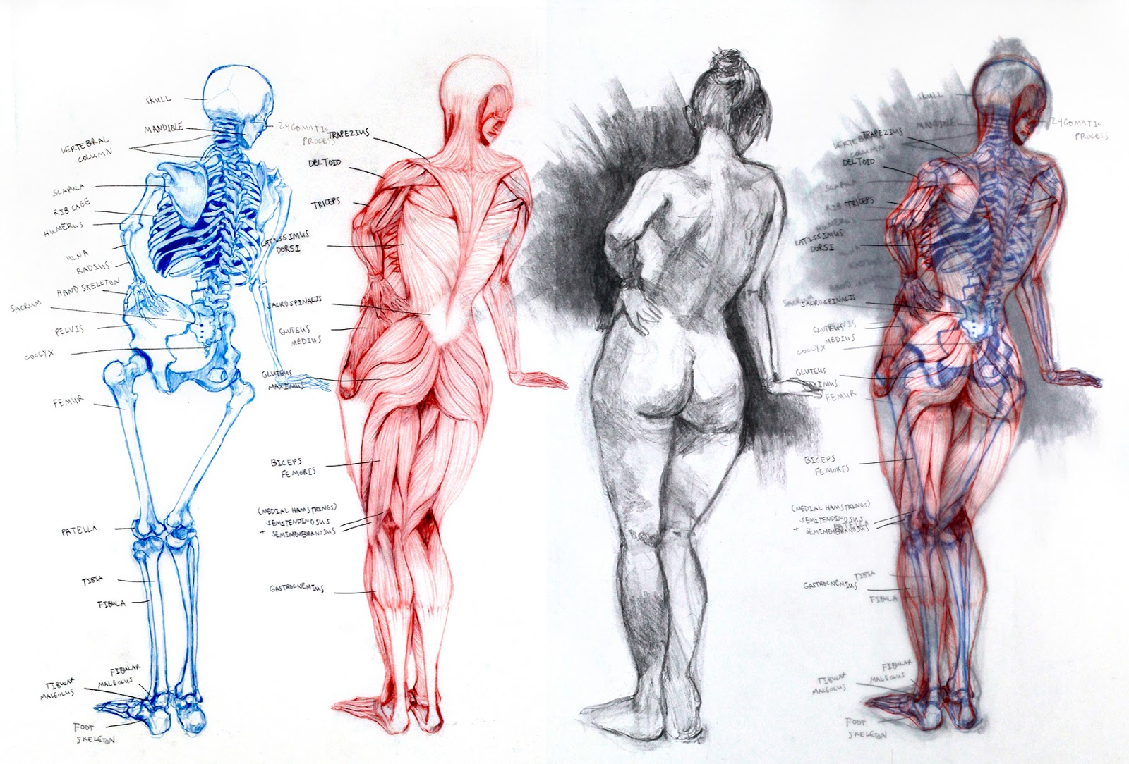 the personal techniques used in sketching the structure of the human anatomy All living structures of human anatomy contain cells, and almost all functions of human physiology are performed in cells or are initiated by cells a human cell typically consists of flexible membranes that enclose cytoplasm, a water-based cellular fluid together with a variety of tiny functioning units.