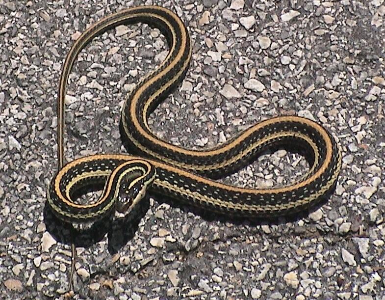 Easten garter snake Garden snakes in texas