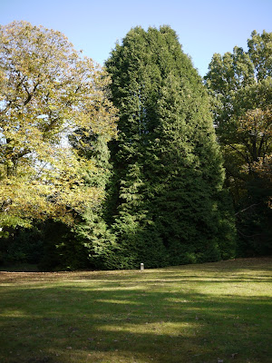 Le thuyopsis de l'arboretum du Grand Fougeray